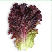 Семена салата КS 101 фирмы Китано