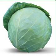 Семена белокочанной капусты HONKA F1 / ХОНКА F1 (Китано)